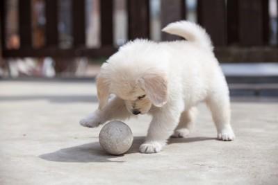 ボールで遊ぶ子犬