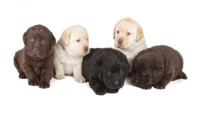 様々な色のラブラドールの子犬五匹