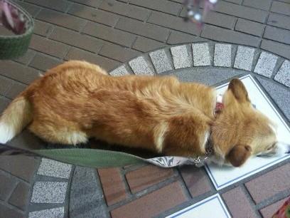 眠そうなコーギー