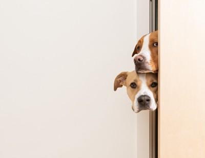 ドアの隙間から覗いている二頭の犬