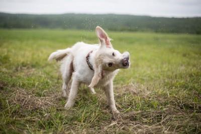 芝生の上で体をブルブルさせる犬
