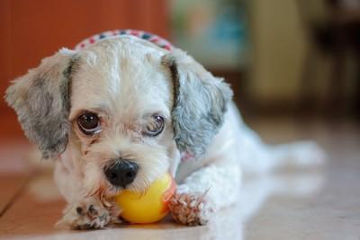 おもちゃを咥えてこちらを見つめる犬