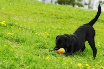 ボールで遊ぶラブラドールレトリバー