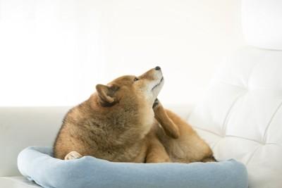 顔を掻く柴犬