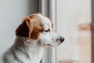 悲しげに窓の外を見ている犬