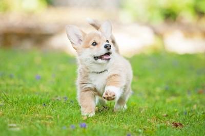 芝生を駆けるコーギーの子犬