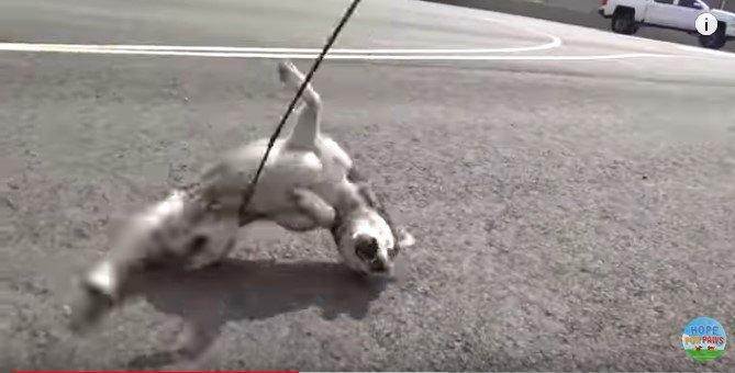 ワイヤリードにとらえられた犬