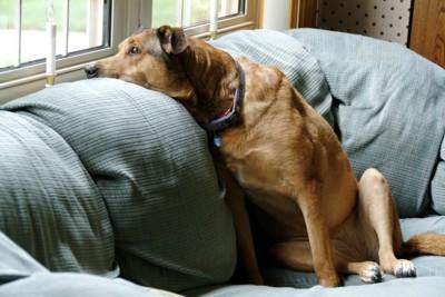 ソファーの背もたれに伏せをしている犬
