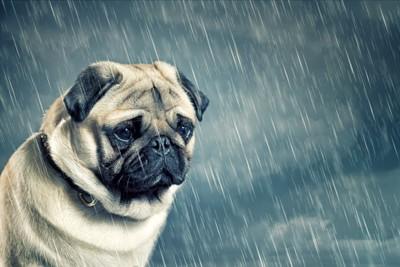 雨に濡れたパグ