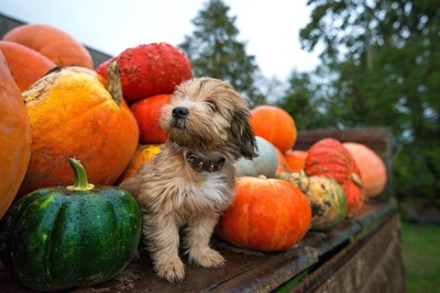 たくさんのかぼちゃに囲まれた犬