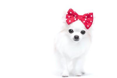 頭に赤いリボンを付けた犬