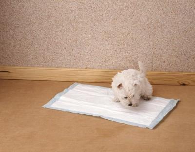 トイレシートの上で匂いを嗅ぐ白い犬