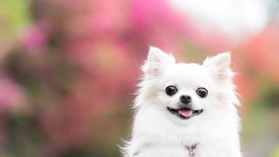 幸せそうな笑顔のチワワ