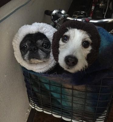#先住犬の2匹#