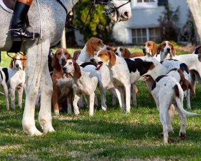 馬の足元で群れをなすアメリカンフォックスハウンド
