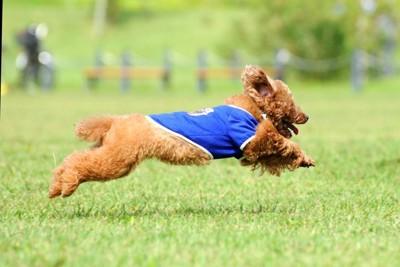 芝の上を走っているトイプードル
