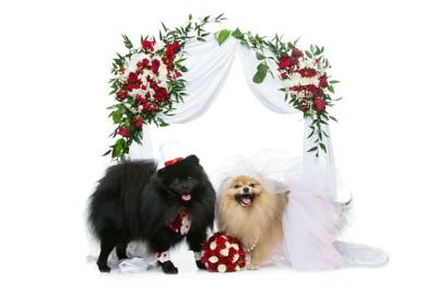 結婚式の格好をしている二匹の犬