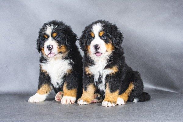 二匹のバーニーズマウンテンドッグの子犬