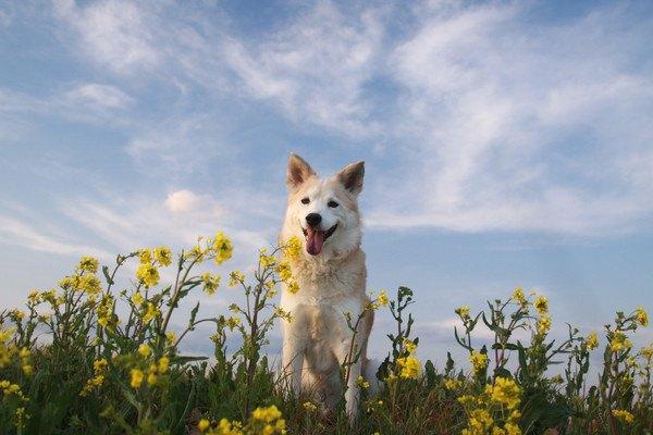 空と菜の花と犬