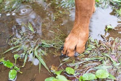 水たまり、茶色い犬の足