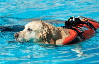 訓練中の水難救助犬