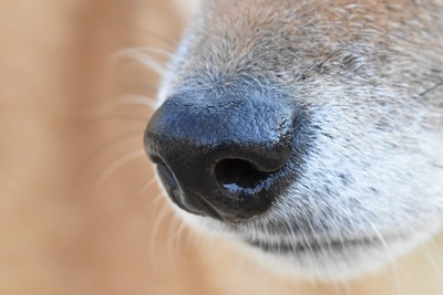 柴犬の綺麗な鼻