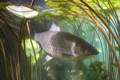 水の中を泳ぐ鯉