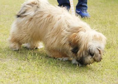 芝生が気になるラサの子犬