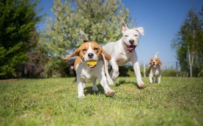 芝生の上でみんなで遊ぶ犬たち