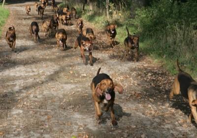 群れで走るフォックスハウンド