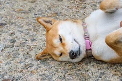 地面に寝転がる柴犬の顔アップ