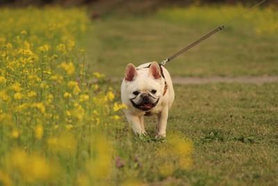 黄色い花とお散歩中の犬