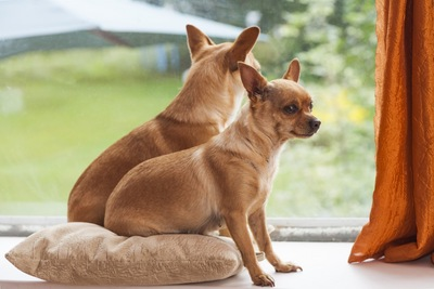 窓辺に座る2頭のチワワ