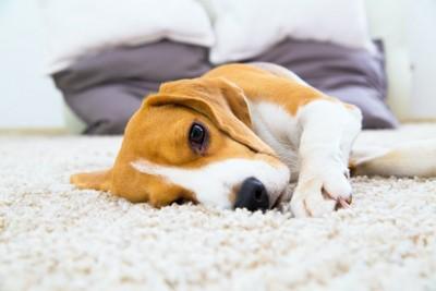 カーペットの上で横になってくつろぐ犬