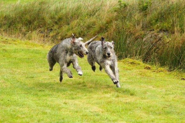 走る二匹のアイリッシュウルフハウンド