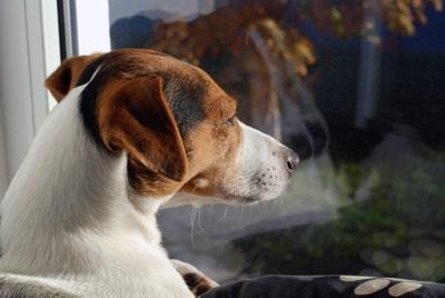 窓の外を眺める犬