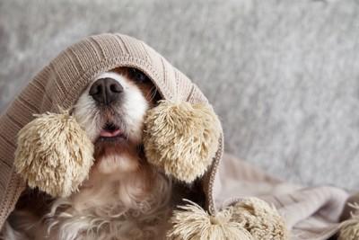 ブランケットに隠れて舌を出している犬