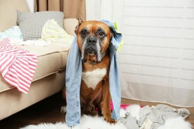 飼い主の服を散らかして遊ぶ犬
