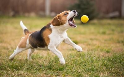 大きく口を開けてボールを追いかける犬
