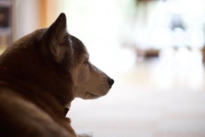 遠くを見つめる柴犬の横顔