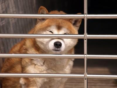 金網からこっちを見ている柴犬
