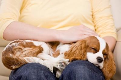 人の膝で寝る犬