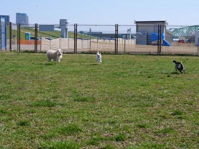 広い芝生のドッグランを走る三頭の小型犬