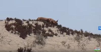 砂丘で寝る犬