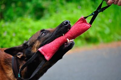飼い主とオモチャを引っ張って遊ぶ犬