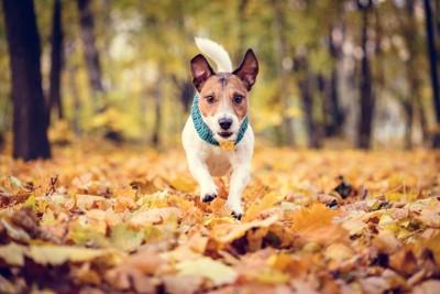 枯れ葉の上を走る犬
