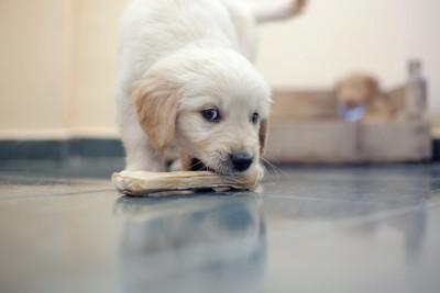 大きなガムをくわえようとしている子犬