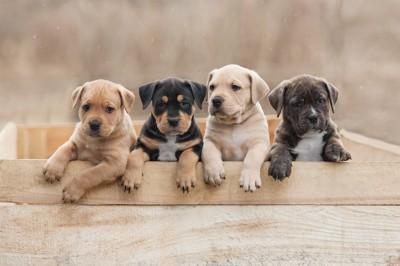 木箱の中に入った4匹の子犬たち