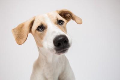 不思議そうに見つめている垂れ耳の犬