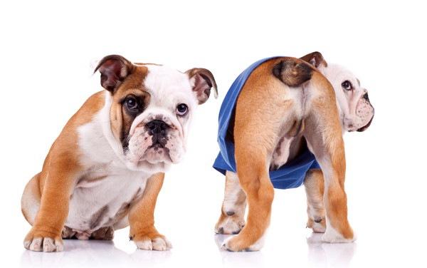 オシリを見せる犬